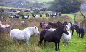 Pony Herd Identification
