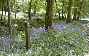 Brimpts Bluebells 300x189